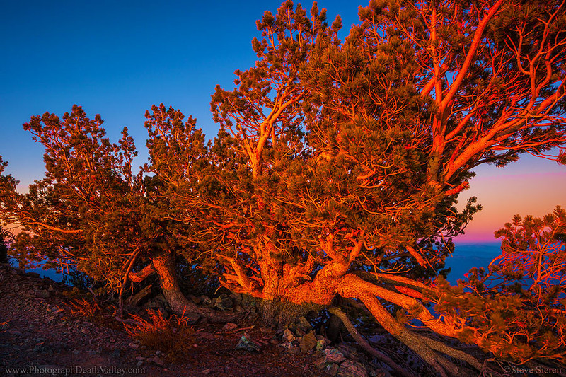 Bristlecone Pine Death Valley California