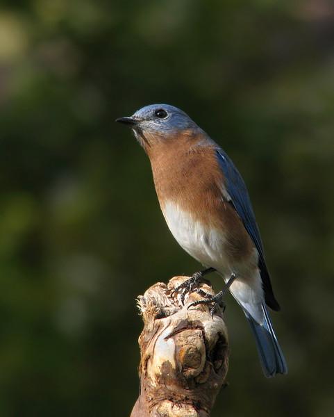 bluebird_7349.jpg
