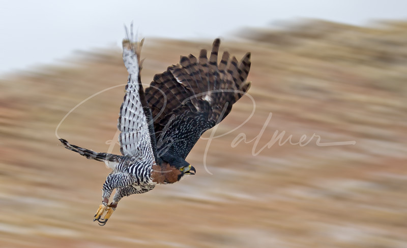 Ornate Hawk Eagle on the move.