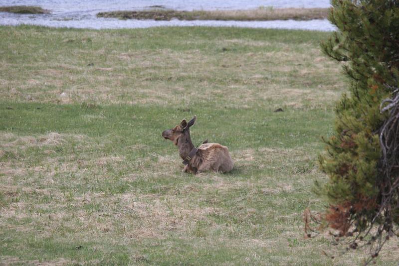 elk with monitering collar