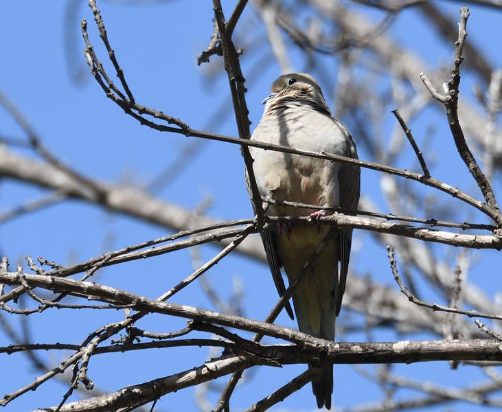 Mourning Dove  - 2/11/2018 - Poway Creek