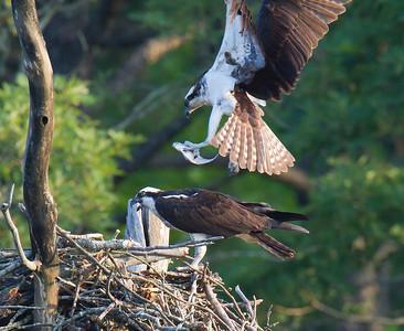 Ospreys at Falls Lake May 2010