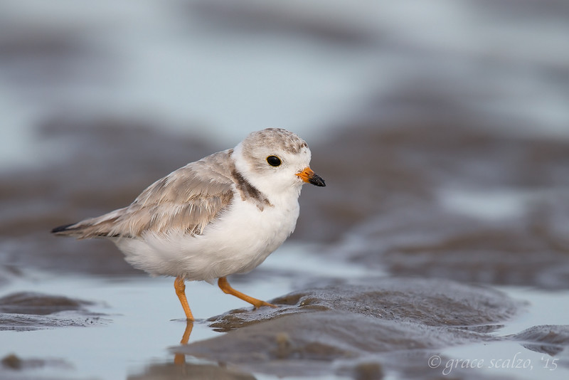 Piping Plover, Adult