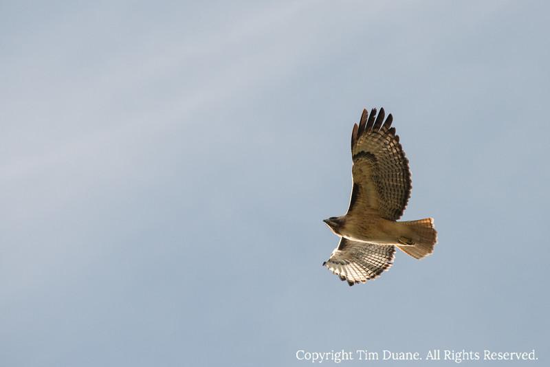 Marin Hawk.jpg