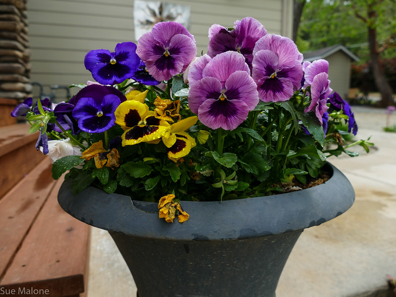 pansies holding up but when it gets really hot they will get moved to a shadier spot