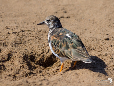 Ruddy Turnstone on the Skeleton Coast, Namibia
