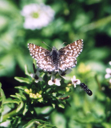 Two-banded (Laguna Mtn) Checkered Skipper