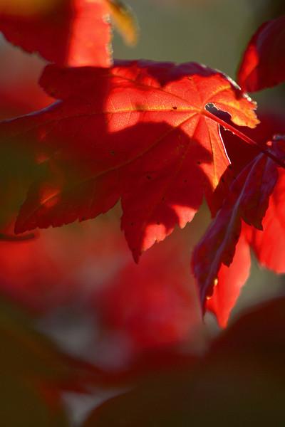 Vine Maple_MG_7081.jpg