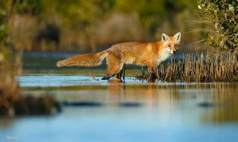 Fox (Australia) MASTER.jpg