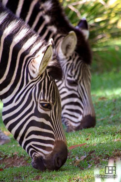 Chapman's Zebra (Equus burchelli chapmani) at the Adelaide Zoo