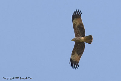 KITES AND HARRIERS