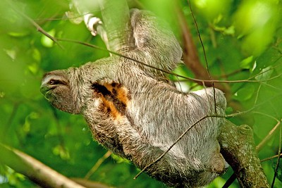 Three-finger Sloth