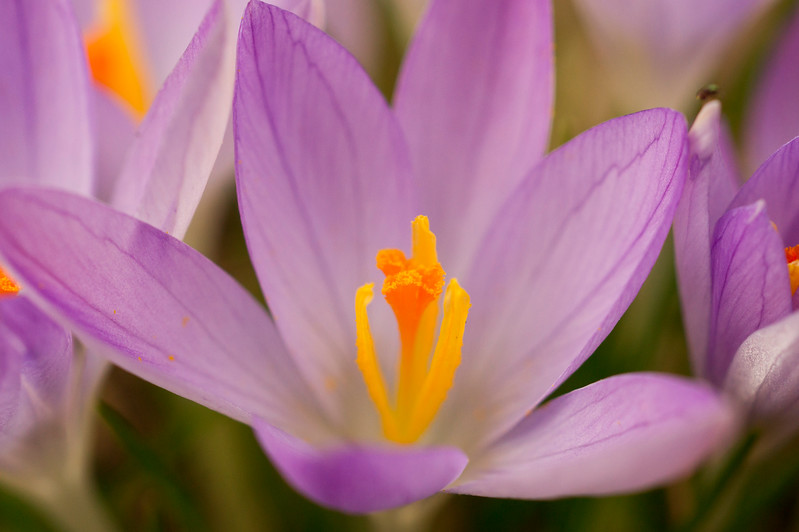 Crocus Heart