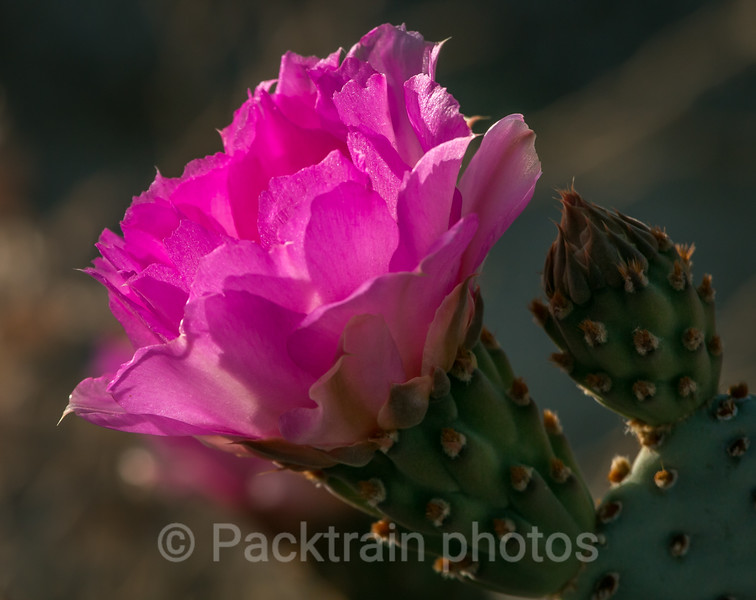 Beavertail Cactus Bloom Profile view - BCB -1