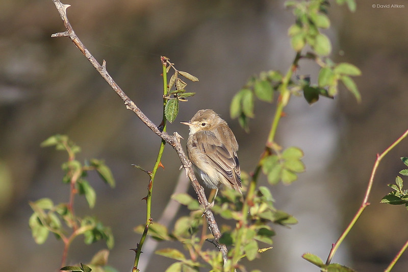 Booted Warbler - Torness Point, Lothian 12/10/14