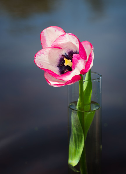 Tulip_4076.gallery.jpg