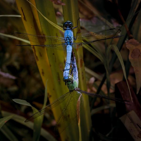 Slaty Skimmer dragonfly mating