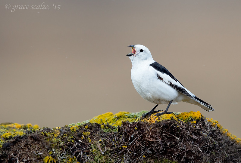 Snow Bunting Calling