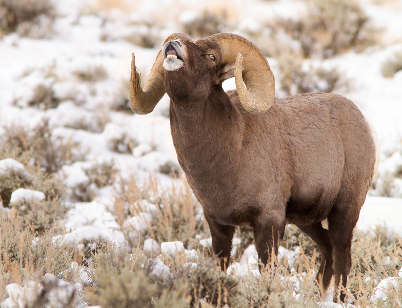 Bighorn Ram in snow and sagebrush, Shoshone National Forest
