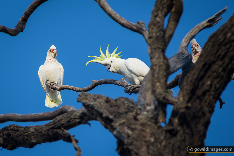 Long-billed Corellas and a Sulphur Crested Cockatoo, Kara Kara National Park (formerly St Arnaud Range NP)