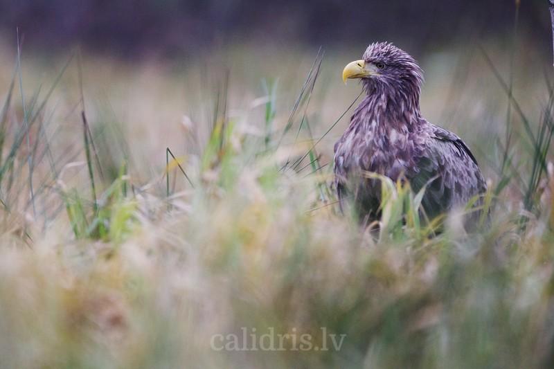 White-tiled eagle / Jūras ērglis