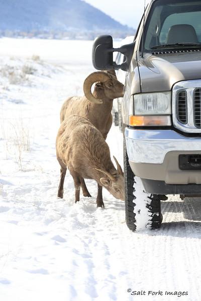 Wyoming Carwash - Bighorn Sheep at the National Elk Refuge - Jackson Hole, Wyoming
