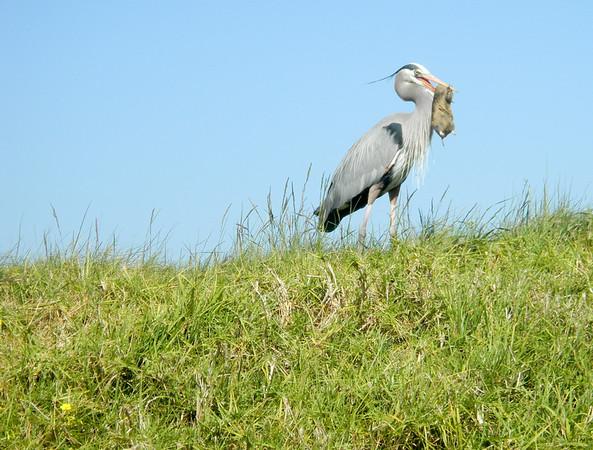 Blue Heron Crissy Field