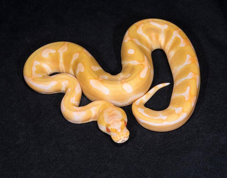 088FEA, female Enchi Albino, $400
