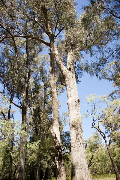 Tuart Trees