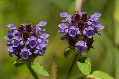 Lamiaceae Kransblommiga