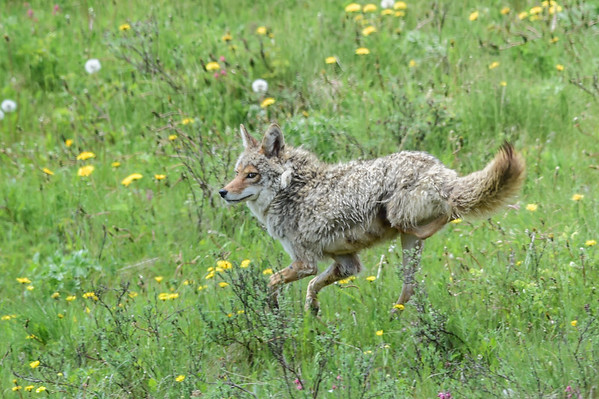 6-8-14 Coyote Mom or Dad With Damaged Rear Leg