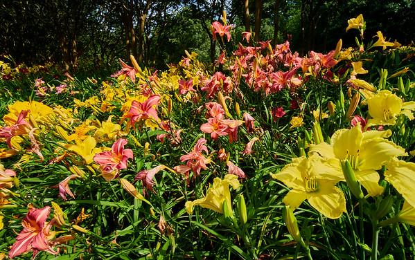 Day lillies, hydrangeas, misc