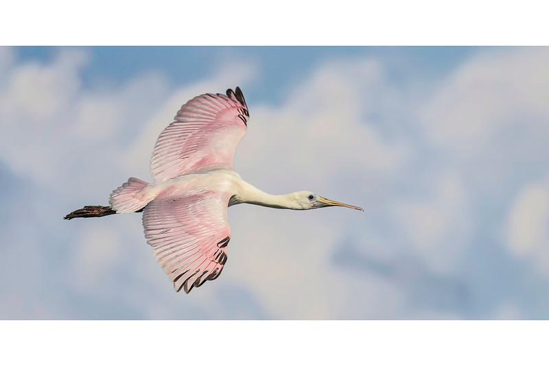 63_Florida Spoonbills_High Flight.jpg