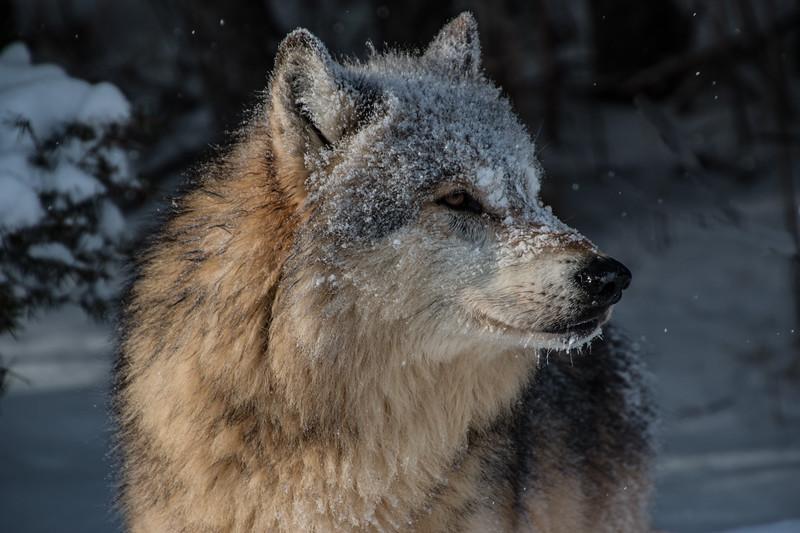 3543-Wolf-©Yvonne Carter.jpg