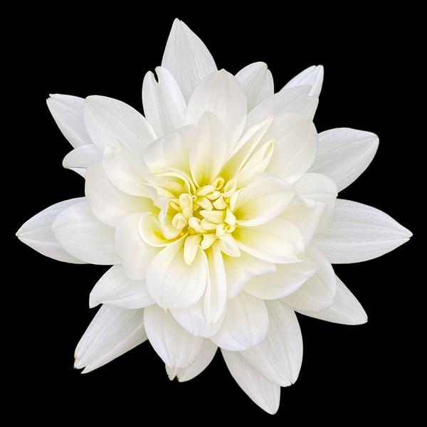 White Dalhia