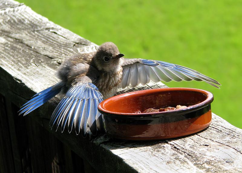 bluebird_fledgling_7005.jpg