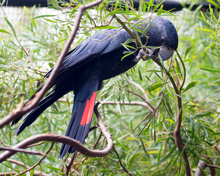 Red-tailed Black Cockatoo