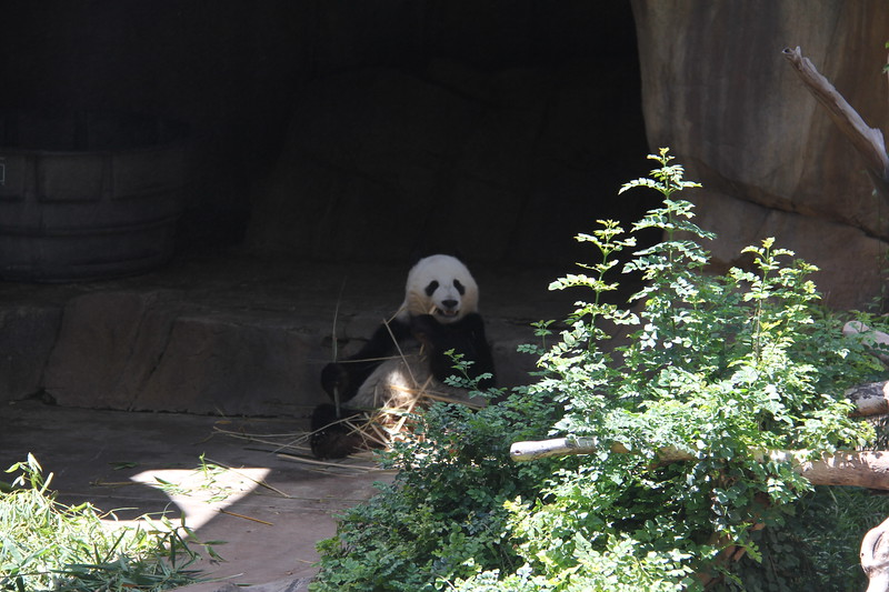 20170807-142 - San Diego Zoo - Giant Panda.JPG