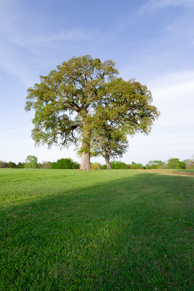 Mighty Oak Tree Portrait