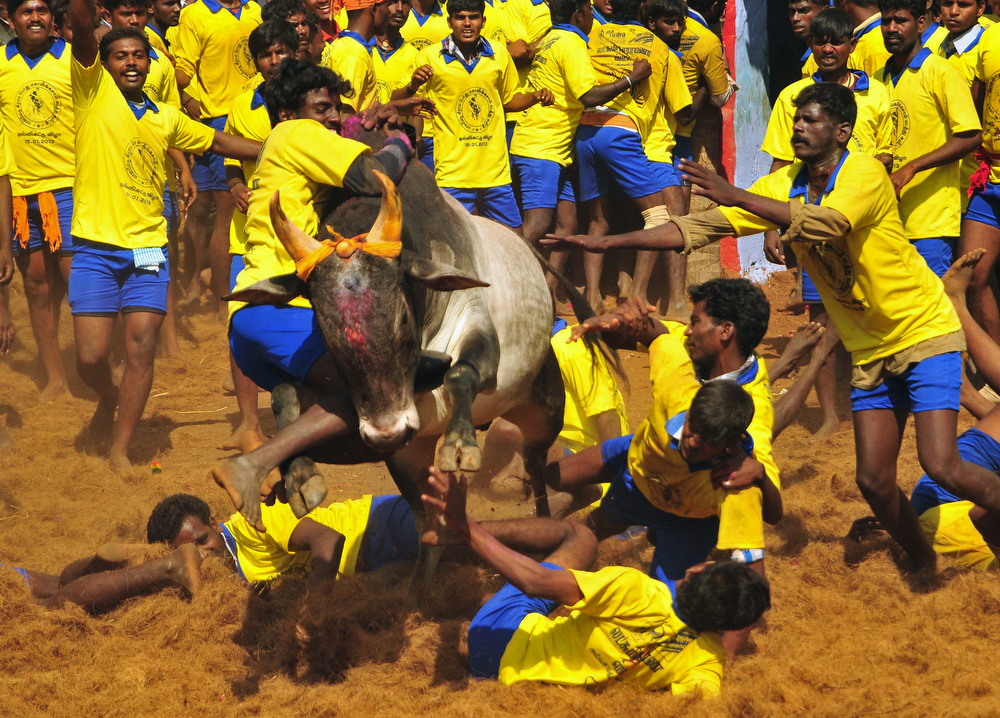 Description of . Participants attempt to hold down a bull during the traditional bull taming festival called 'Jallikattu' in Palamedu near Madurai, around 500km south of Chennai, on January 15, 2013. Jallikattu is a bull taming sport played in Tamil Nadu as part of Pongal celebrations. AFP PHOTOSTRDEL/AFP/Getty Images