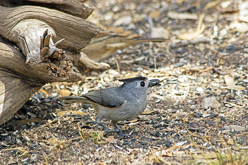 Black-crested Titmouse ~ Photographed in central Texas.