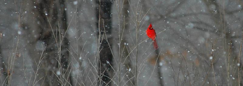 cardinal web.jpg