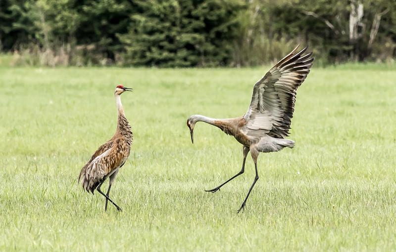 Sandhill Crane courtship dance Arkola Road Sax-Zim Bog MN DSC07908.jpg