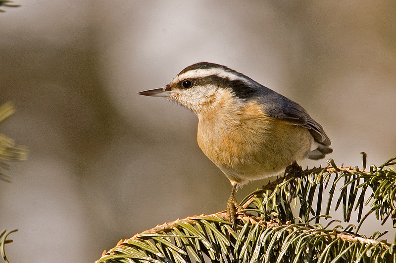 Nuthatch - Red-breasted - male - Dunning Lake, MN - 06