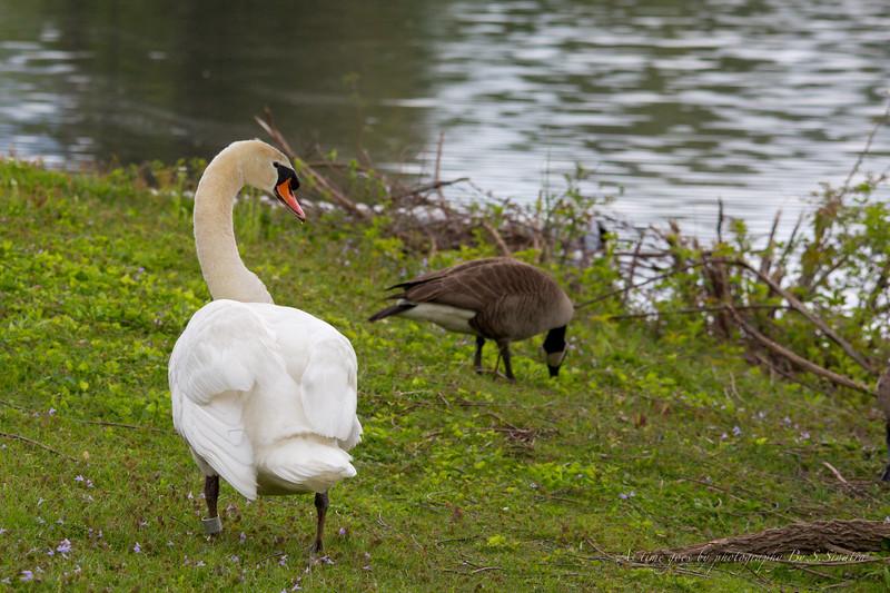mute swan signed-10.JPG