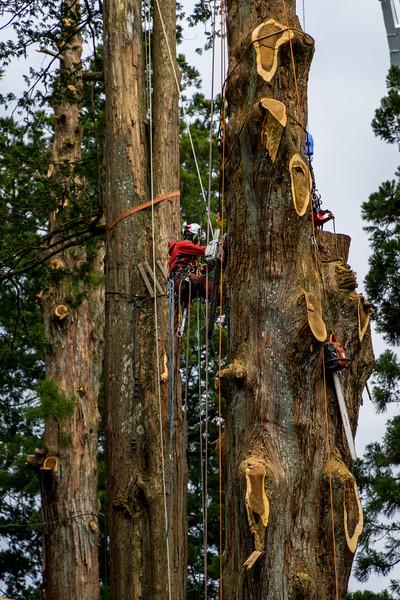 Man Cutting Down Large Trees in Nikko Japan