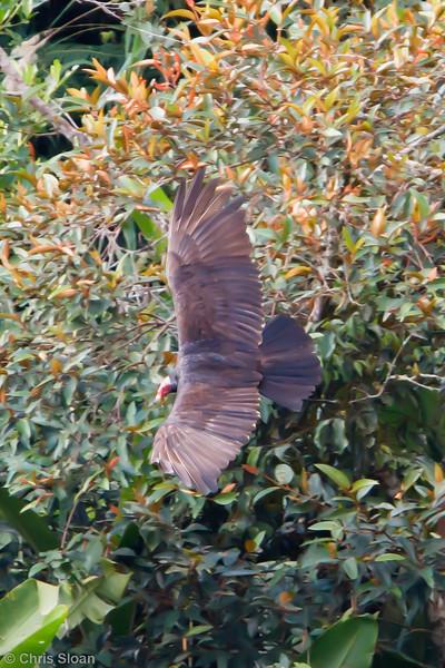 Turkey Vulture ruficollis adult  at La Escalera including Tunnel Area, Tarapoto, Peru (07-03-2010) 032.jpg