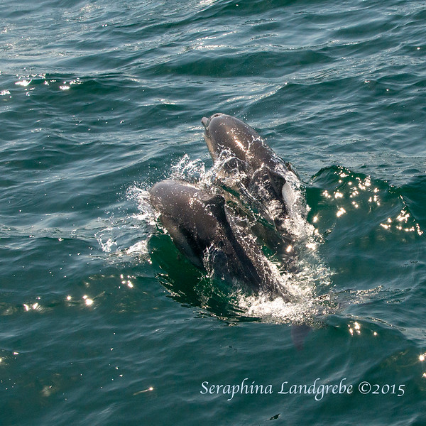 _DSC8715Two dolphins.jpg
