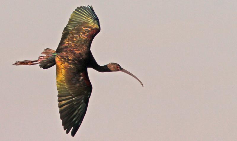 ibisjewelwings1600.jpg