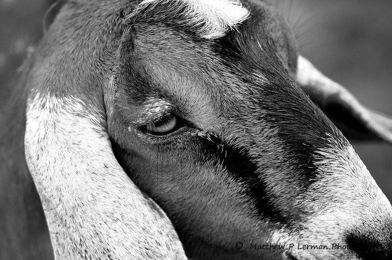 Mammal Goat 08 21 11_2829 b&w.jpg
